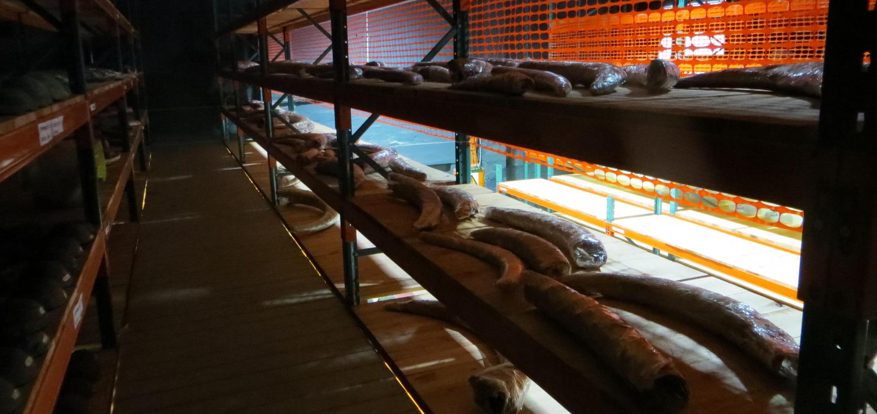 Elephant ivory cargo in the storeroom of the Oranjemund mine. Photo by: Ashley Coutu